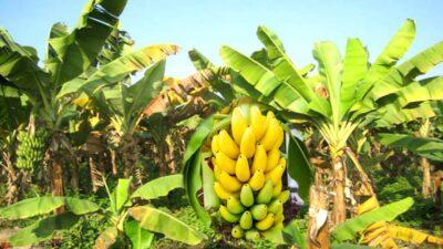आम केरा कृषक र उपभोक्ता बिचौलियाको मारमा, दोब्बरभन्दा बढी तिरेर किन्नुपर्ने बाध्यतामा उपभोक्ता