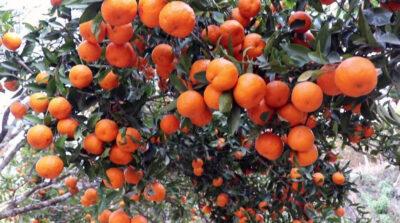 मासिँदै छ सुन्तला : सरकारी क्षेत्रले चासो नदिँदा चिन्तित छन् किसान